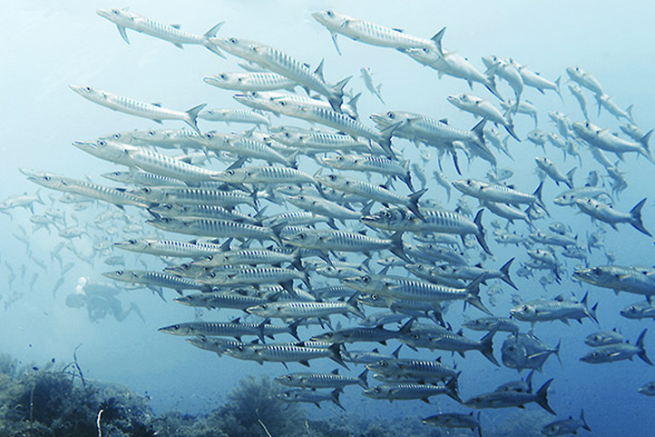 Battery of Barracuda taken in Tubbataha. Photo: Jun V Lao